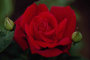 Садовые  чайно-гибридные розы