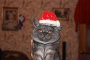 Очаровательный британский котенок