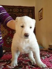 Отличные щенки туркменского АЛАБАЯ