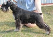 Цвергшнауцера щенков из Иркутска предлагаю