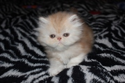 Персидские котята с документами