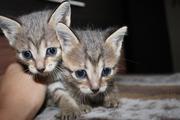 милые котята в дар