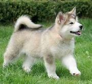 продам щенков аляскинского маломута