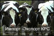 Продажа коров оптом