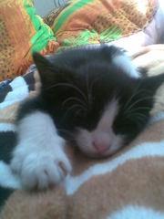 котенка,  1, 5 месяца в хор.руки. с приданным. черно-белый 668366